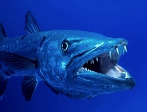Fish: Great Barracuda My researched vertabrate - ThingLink