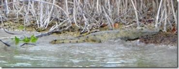Beached croc
