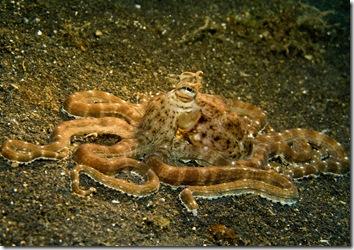 Sulawesi octopus