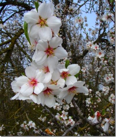 Almond blosoms