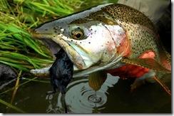 trout eats mouse