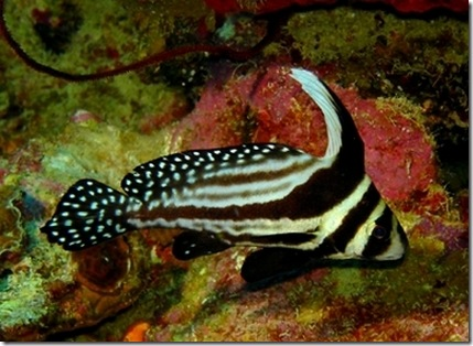 Cozumel is nice even the mexican fish are honoring our for American flag fish
