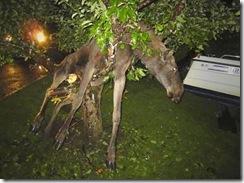 drunk moose