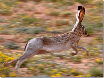 jackrabbit in motion