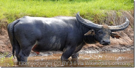 Italian water buffalo wikipedia