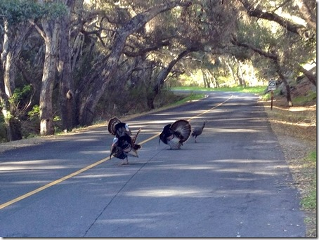turkeys in road