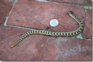 small rattlesnake by house