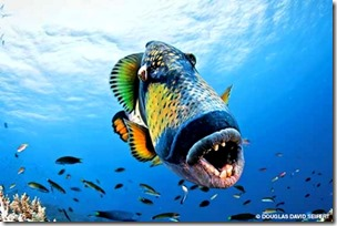 titan triggerfish teeth